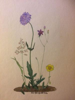 Acker-Witwenblume, Otto Eberhardt, 1944, Aquarell, Papier, 21x27,5cm, ID1509
