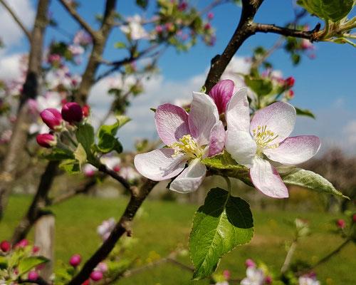 Foto: Wildbrenner - Apfelbluete