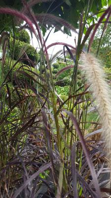 Gräsersorten aktuelles blumen pflanzen und kreative floristik aus zerbst