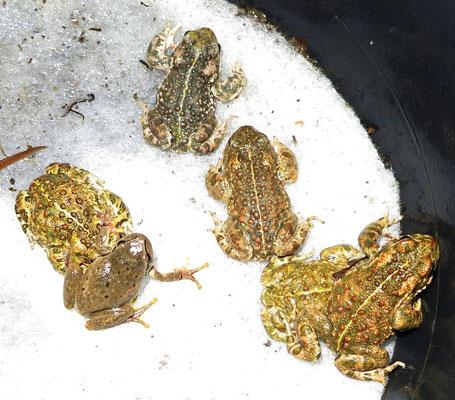 Velbert, Kreuzkröten und beiger Laubfrosch