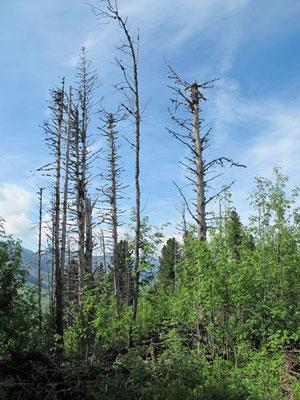 Lothar-Bäume - eindrucksvoll und schön.