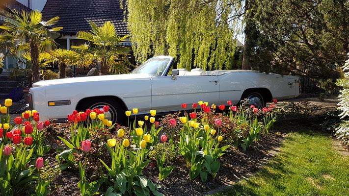 Cadillac im Tulpenfeld