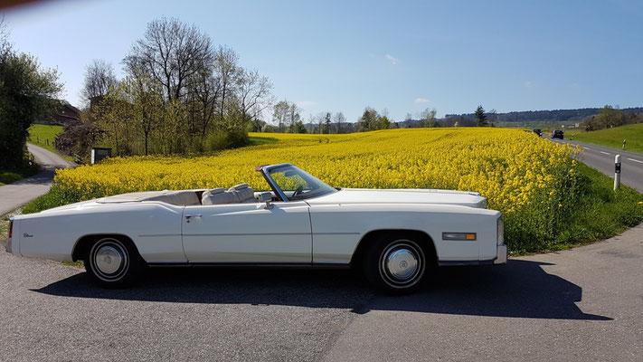 Cadillac im Rapsfeld