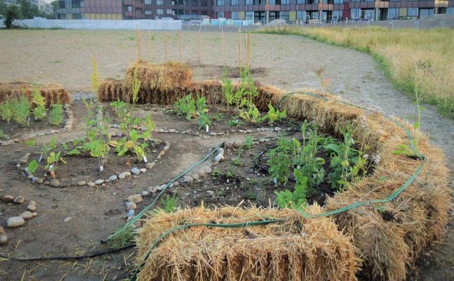 2. Aktionstag:  Heilkräutergarten / Strohballenkreis bepflanzen       Fotograf/In: M.Bärtschi (06.06.2015)