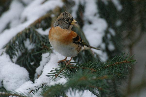 Bergfink im Winter