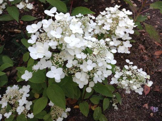 "Hydrangéa quercifolia ""Snow Flakes """