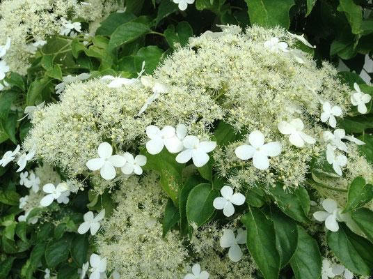 En Mai/Juin à l'entrée de la chambre Fleur de l'hydrangéa grimpant aux senteurs sublimes de vanille !