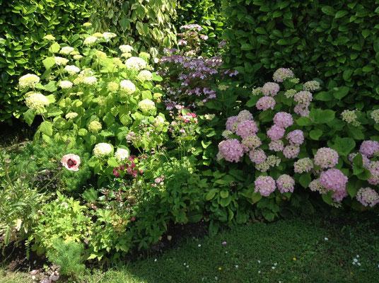 Le massif de la chambre d'Hôtes : Hydrangéas , vivaces et rosiers (fleuri en toute saison)
