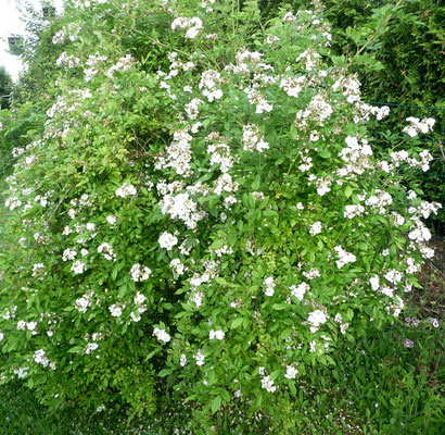 """Die Wildrose blüht auch noch und kann vom Duft mit der """"Königin von Dänemark"""" locker mithalten."""