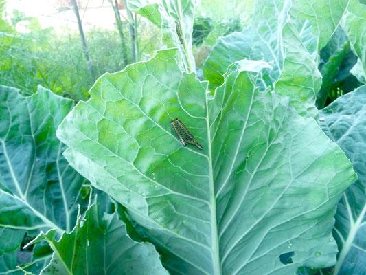Raupen auf dem Kohl im Keyholegarden (auf der Seite der Pflanze ließen sie sich besser fotografieren).