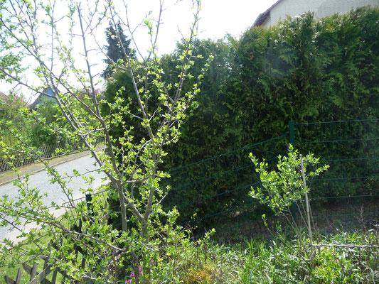 Hier stand ein Obstbaum von Tante Thea, und nun ist wieder etwas Blühendes aus der Wurzel entstanden.