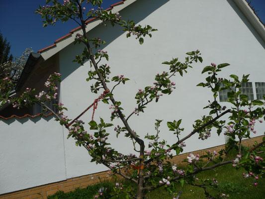 Ganz schön viele Blüten an den Obstbäumen, es duftet und Bienen sind auch da.