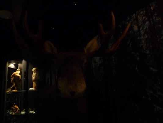 Im Naturkundemuseum ist es zu dunkel. Soll ein Elch sein.