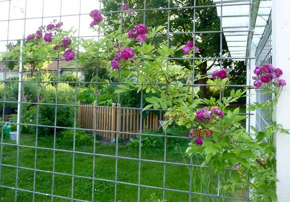 Der Rambler blüht auch.