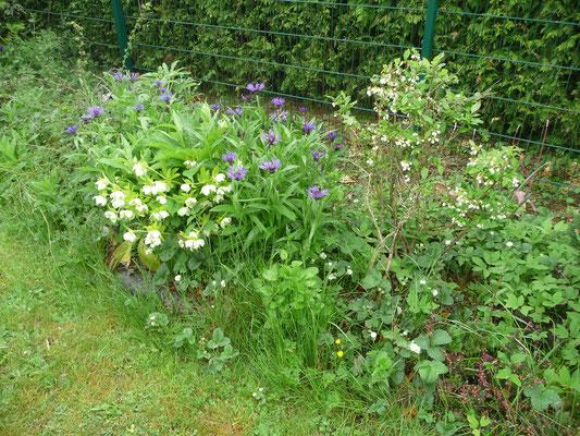Kornblume und Lenzrose und die blühenden Heidelbeeren