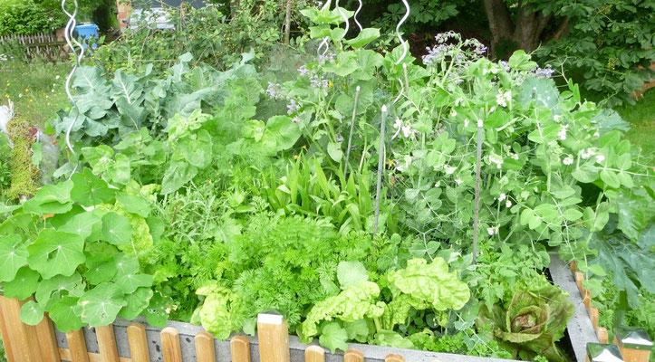 Mein Keyhole Garden am 17.06.16 Erbsen blühen, Salat ist da