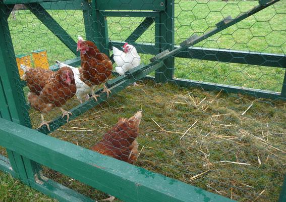 Es ist schwierig, die fünf Hühner zu fotografieren.