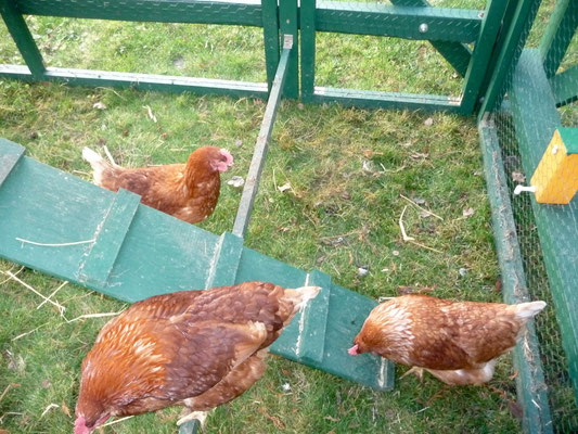 Es hat vier Tage gedauert, bis sich die Hühner aus dem Stall getraut haben.