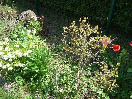 Die Heidelbeeren blühen bald.