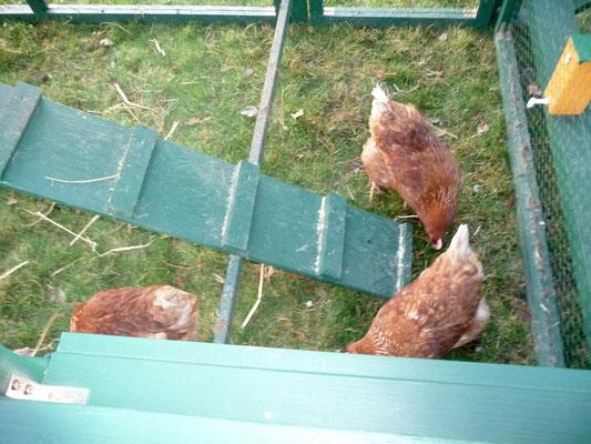 Sie legen drei Eier am Tag.