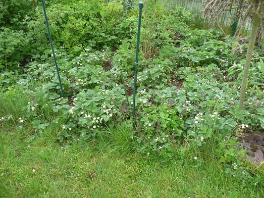 Die Erdbeeren blühen wie verrückt. Auch hier scharren gerne die Hühner herum.