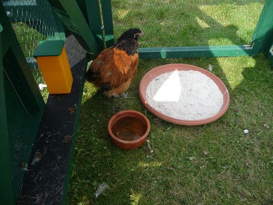 Am 23.4.16 haben wir zwei neue Hühnchen bekommen. Vorwerk Hühner, die 14 Wochen alt sind.