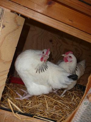 12.03.2016  Wir haben zwei neue Hühner. Sussex