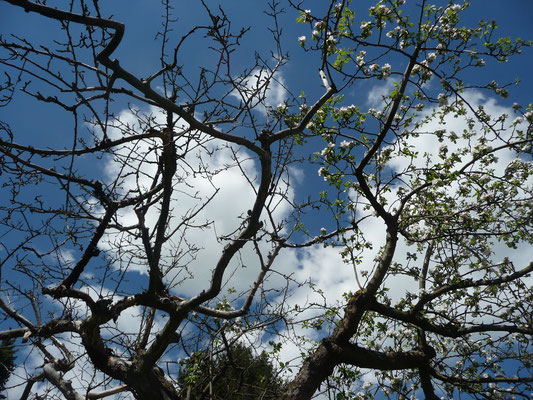 Der alte Grafensteiner Apfelbaum, halb tot und halb in Blüte.
