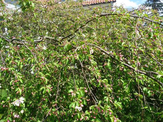 Der Zierapfelbaum, vor 22 Jahren gepflanzt, wird immer üppiger, ich freue mich schon auf die Blüte!