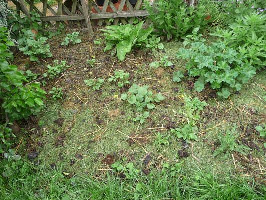 Meine Kartoffeln - das Beet wurde zigmal von den Hühner umgescharrt.
