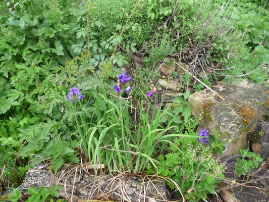 Die Iris blüht - und da hat sich auch eine Weinbergschnecke versteckt.