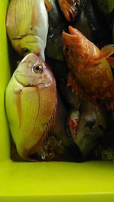 タイ2-3匹、カサゴ2-3匹、カワハギ25匹