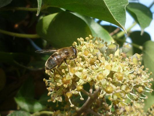 Scheinbienen-Keilfleckschwebfliege