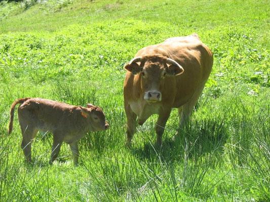 La vache et son veau à coté des gites