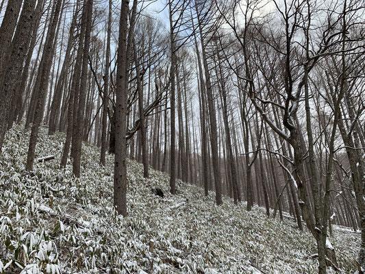 今年は雪が少なめで笹が見えています
