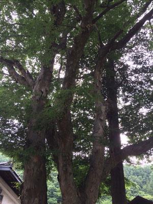 前宮の御室社の大木
