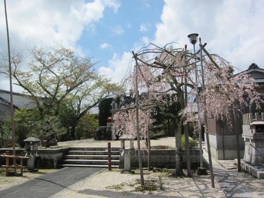 境内の桜と教祖像