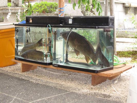 放生作法の鯉とうなぎ