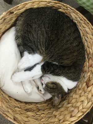 白石旅館の看板猫 たま