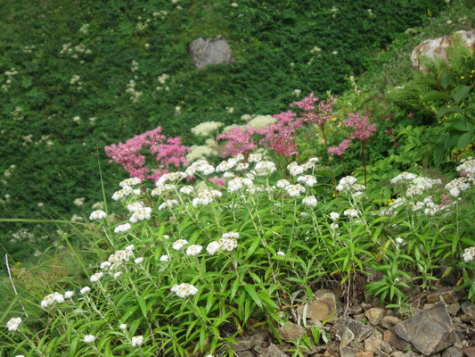 高山植物がきれいでした