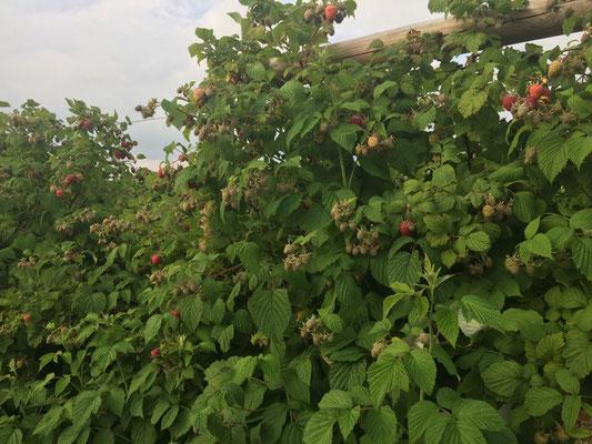 Die ersten reifen Beeren