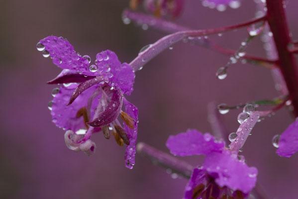 Flora: weidenröschen_B19-2-2
