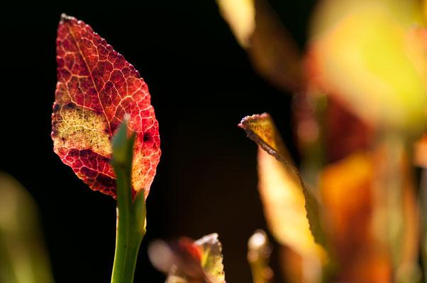 Flora: Heidelbeerkraut_1