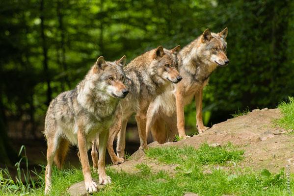 Fauna: Wölfe, Wildpark Neuhaus