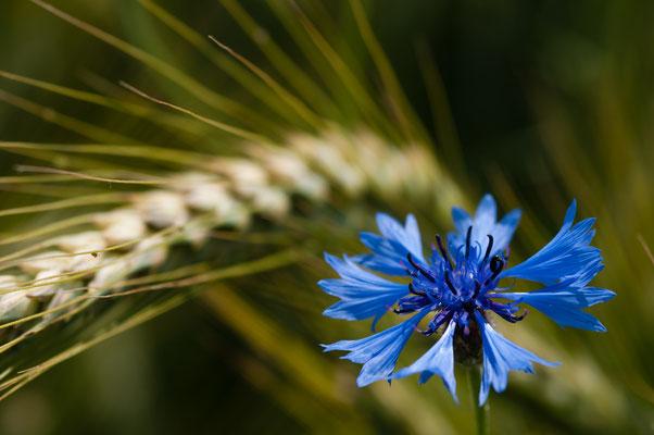 Flora: Kornblume_1
