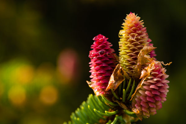 Flora: Fichtenblüte_1