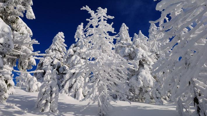 Fichten in ihren Winterkleidern-2