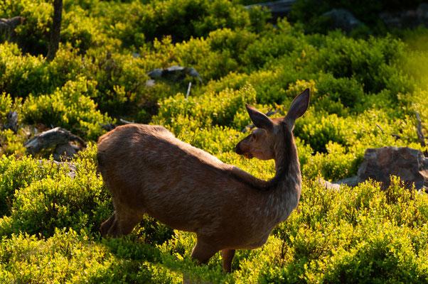Fauna: Hirsckuh_1