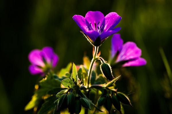Flora: Wiesenstorchschnabel_1