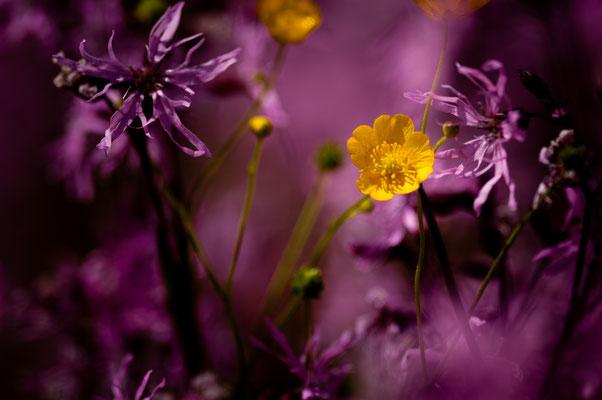 Flora: Wiesenblumen_2